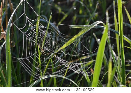 Spider web on the dewy grass closeup