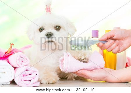 Little dog at spa being groomed with hairbrush