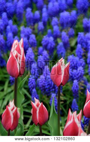 Beautiful image of pink and white striped tulips and bright blue flowers