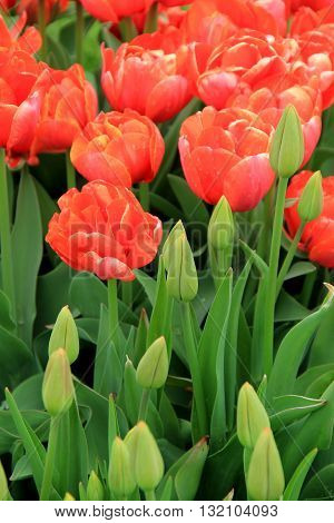 Pretty image of tulips, some fully open under the warmth of Springtime sunshine, others just beginning to bud