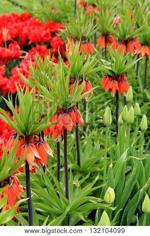 Stunning landscape with Red Crown Imperial tulips tucked into pretty flower garden.