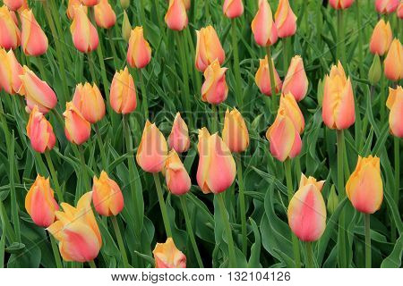 Gorgeous garden filled with pink and peach striped tulips