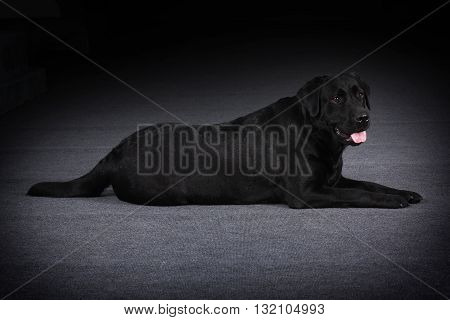 relaxed black dog Labrador Retriever lays on a black background in Studio