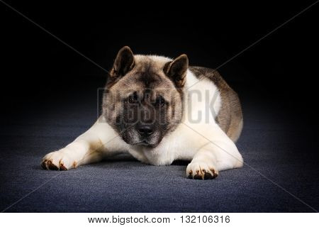 Dog breed Akita inu lies in the Studio and stares