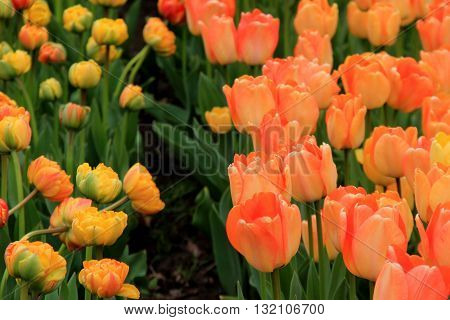 Stunning image of bed of tulips, some yellow and others peach color in backyard landscaped garden.
