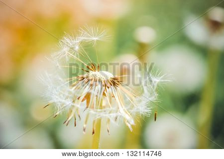 bald dandelion closeup on blurred background with a filter or effect