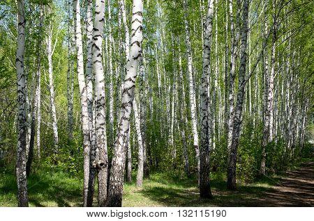Beautiful birch in daylight summer fresh day