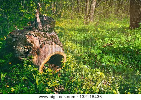 Old Tree Stump In The Spring Forest