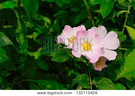 Brier blossoming branch. Traditional medicine and herbs