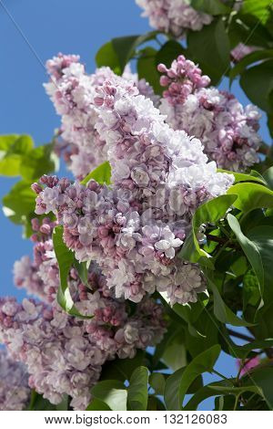 Magnificent lilac branch in the garden inside the Moscow Kremlin