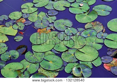 Illustration of Waterlily pads floating in a blue pond