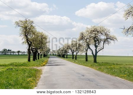 Old road and alley of flowering cherry-trees with beautiful sky