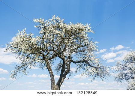 flowering cherry-trees with beautiful sky in spring time