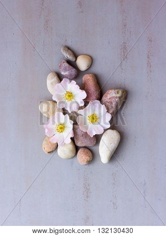 three pink flower wild rose on pebbles on a gray background. Spa stones treatment scene zen like concepts. Flat lay top view