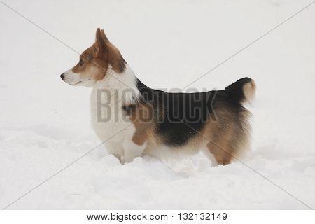 a welsh corgi pembroke standing in snow