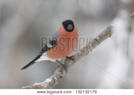 a beautiful male bullfinch on a snowy twig