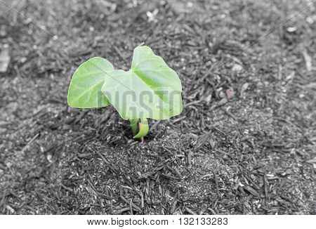 small green seedling Ivy Gourd. growing out from heap of soil (Coccinia grandis Voigt) select focus Ivy Gourd