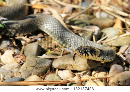 Small grass snake on a rock with its tongue hanging out.