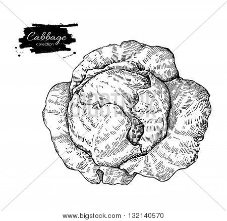 Cabbage hand drawn vector illustration. Vegetable engraved style object. Isolated Cabbage. Detailed vegetarian food drawing. Farm market product.