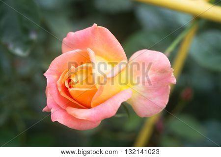 Tender rosebud in the summer garden. Beautiful pink rose in a garden