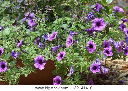 Purple Petunia flowers in a garden Georgia, USA.