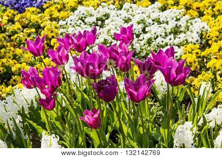 Colourful multi-colored flower bed with tulips in the foreground in the park on a sunny day