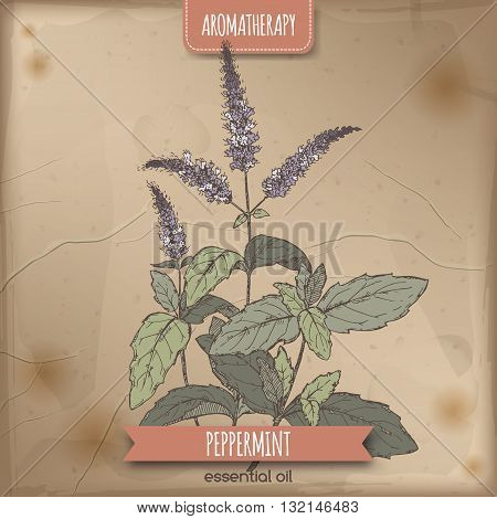 Mentha piperita aka peppermint color sketch on vintage background. Aromatherapy series. Great for traditional medicine, perfume design or gardening.