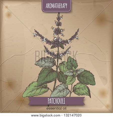 Pogostemon cablin aka Patchouli color sketch on vintage background. Aromatherapy series. Great for traditional medicine, perfume design, cooking or gardening.