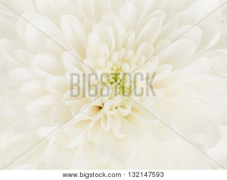 Center fragrant white beautiful chrysanthemum flower with delicate fragile petals and green center vertically
