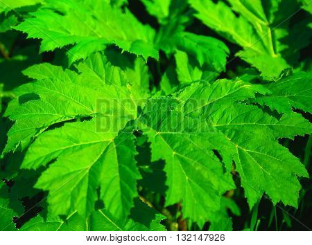 beautiful greenery shrub can be used as a background wallpaper and screensaver