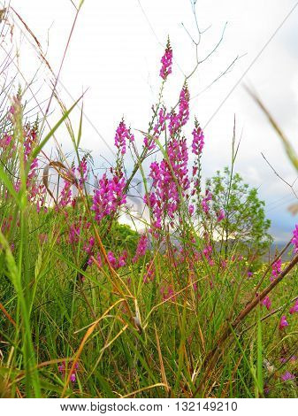 Clump of wild pink snapdragons in Andalusia Spain