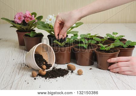 Table with flower pots, potting soil and plants. Woman's hand planting home plants indoors. Hand throws the soil in pot. Several blooming violets in flower pots in background. Planting houseplants.