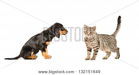 Puppy breed Slovakian Hound and cat Scottish Straight, isolated on white background