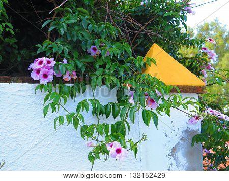 Climbing Bower Vine - Pandorea jasminoides on wall with orange topped corner pillar