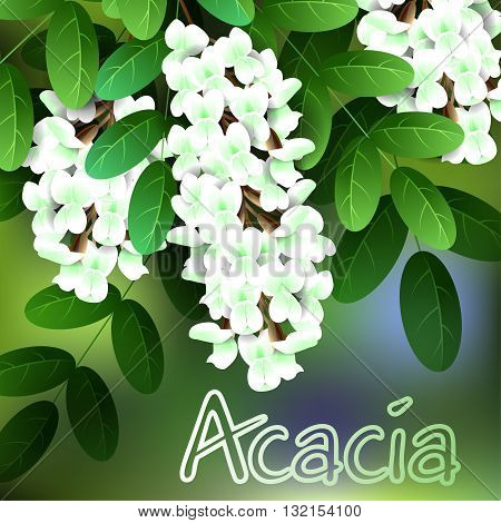 Beautiful spring flowers acacia. Cards or your design with space for text. Vector illustration