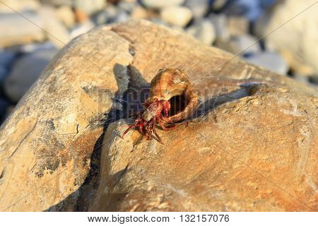 Hermit Crab inside а smalll sea snail shell on the stone on the shore
