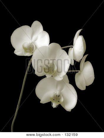 Orchid-phalaenopsis