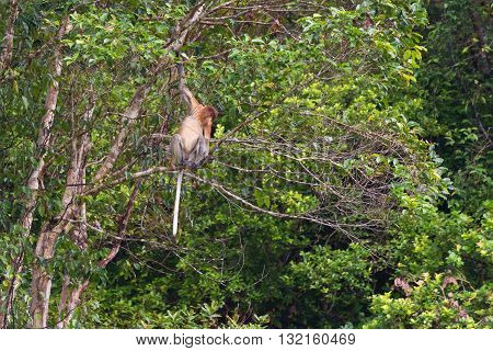 Proboscis Monkey In The Rainforest Of Borneo