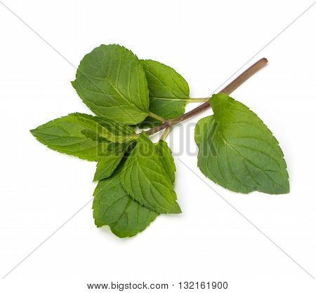 Fresh Chocolate Mint (Mentha piperita) leaves on a white background