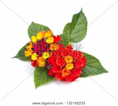 Colorful Lantana blossoms (Verbenaceae) on a white background