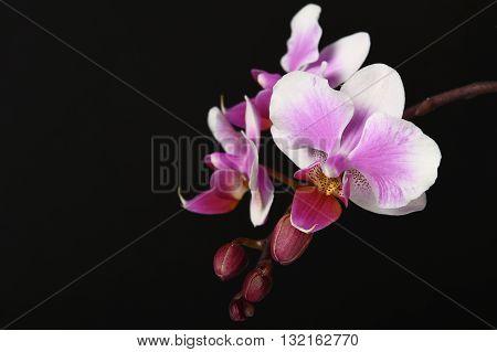 Розовый, лиловый с белым фаленопсис, ор