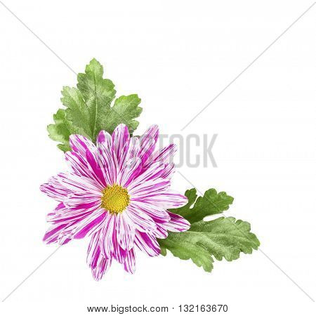 Chrysanthemum flower with leaves on a white background