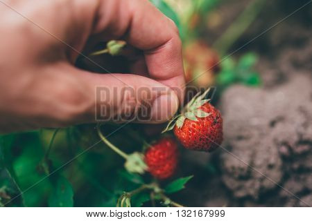 Farmer picking fresh organic homegrown strawberry in fruit garden selective focus