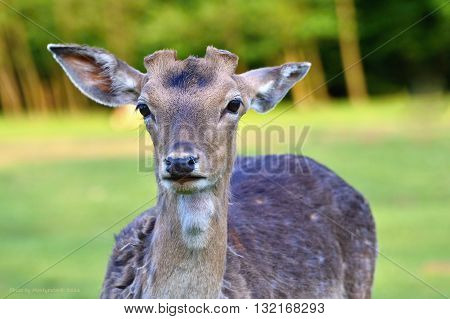 Fallow - fallow deer. (Dama dama ) Beautiful natural background with animals. Spring nature.