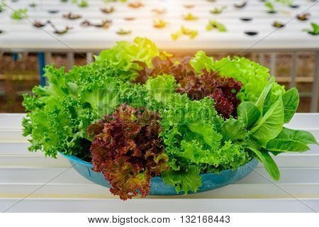 Hydroponic organic salad vegetable in farm Thailand. Selective focus