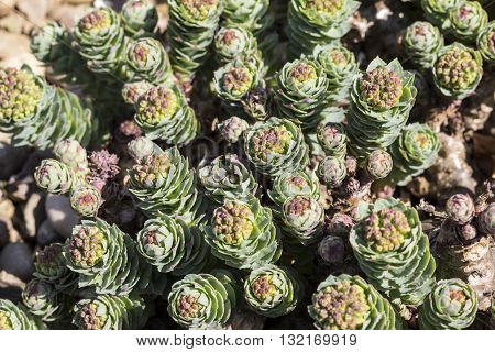 Rhodiola Rosea - also known as roseroot
