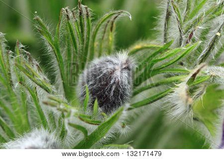 Rosebud Of Pasqueflower