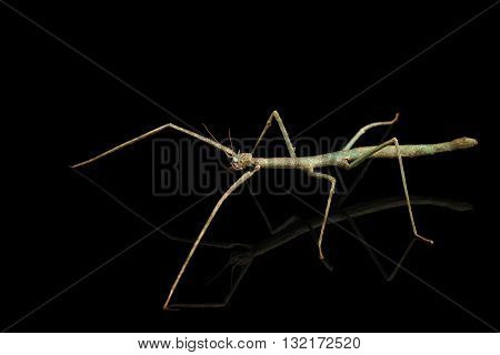 Annam Stick Insect - Baculum extradentata isolated on Black Background