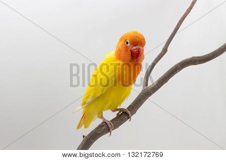 Double Yellow Lovebird On Branch