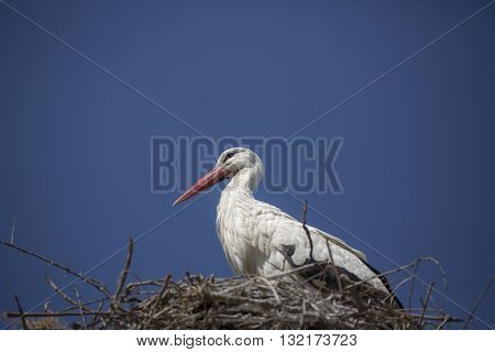 Beautiful stork is standing in the nest